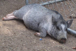 Potbellied Pig Stock 6 by All4grace