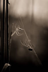 2 spiders 1 web by ForrestBump
