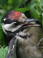 Woodpecker Portrait by Monastor