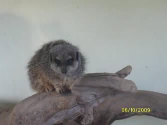 Meerkat stock 1 by Bethicaaa