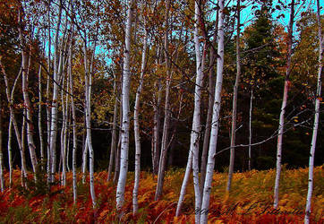 birch patch by ogiedomane