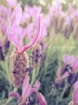 Lavender Like Fish by icynova96