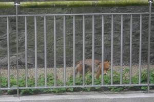 Urban Fox by amerindub