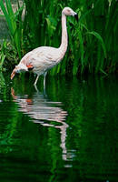 Pinkish Flamingo by amerindub