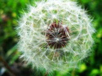 Dandelion by IvyPhotography