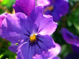 Violet's Violet by IvyPhotography