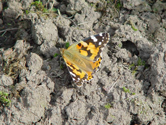 Butterfly on Soil by MilesKjeller