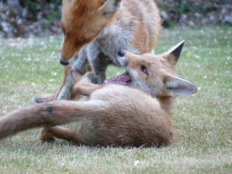 Foxes at Play by MilesKjeller