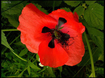 Poppy by lonelymount