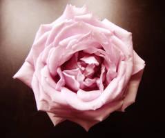 Rose by maczee