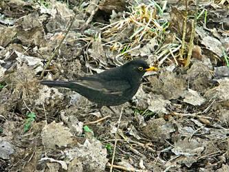 Blackbird by trybutfail