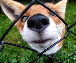fox by alaarch