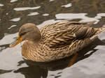 Duck by xxchelsea19981