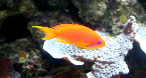 orange fish by annlo13