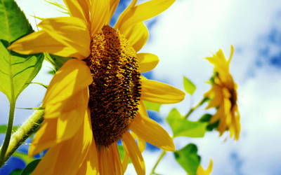 Sunflower by carbon-tech