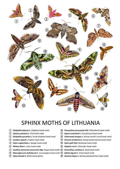 Sphinx Moths Of Lithuania by youngmoons