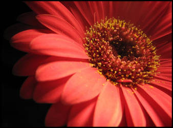 Gerbera by evilneedscandy