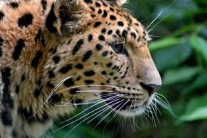 Amur Leopard by mayza8888