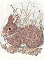 Eastern Cottontail Rabbit by SongOfAlbionTri