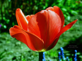 The red tulip by xBarbaraG