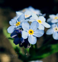 Forget-me-not 2012 by xBarbaraG