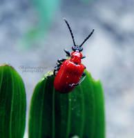 Scarlet lily beetle by xBarbaraG
