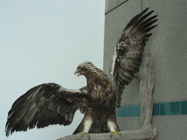 Eagle wings 3 by solarka-stock