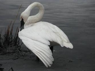 Swan Wing by solarka-stock