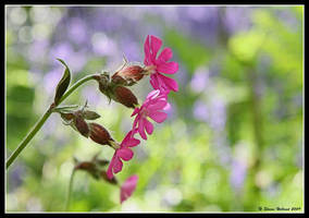 Pink Petals by Kernow-Photography