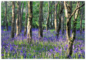 Bluebells by Kernow-Photography