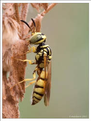 Tiny Yellow Wasp Profile by Hatch1921