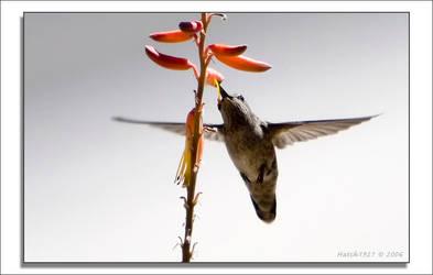 BGT 13 Hummingbird by Hatch1921
