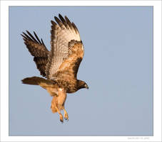 Red Tail Hawk Dec 06 04 by Hatch1921
