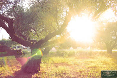 Lens Flare through an olive tree by berttheturt
