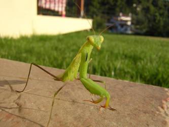 Preying Mantis 2 by bagnaj97