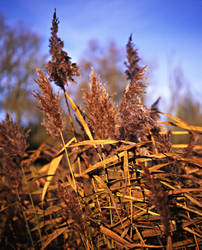 Lakeside Reeds by danhortonszar
