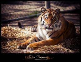 Bengal Tiger by NoctemPhotography