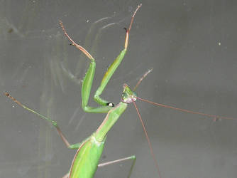 Preying Mantis by kashmier
