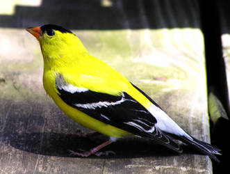 Stunned Gold Finch by kashmier