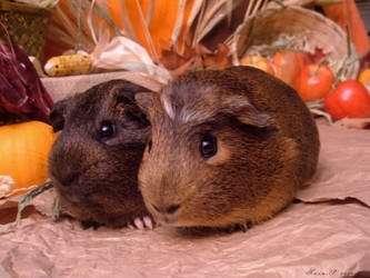 Fall Guinea Pigs: Miso + Shoyu by LadyTsunade