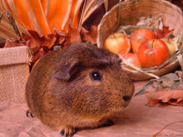 Fall Guinea Pigs:  Miso by LadyTsunade
