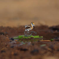 Baby African Jacana  - Paper cut birds by NVillustration