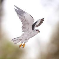 Black-shouldered Kite  - Paper cut birds by NVillustration