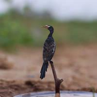 Reed Cormorant - Paper cut birds by NVillustration