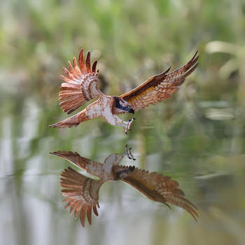 Osprey - Paper cut birds by NVillustration
