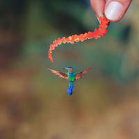 Fiery-throated Hummingbird- Paper cut birds by NVillustration