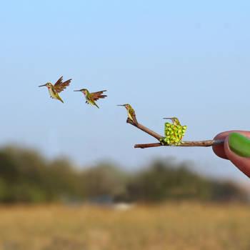First Flight Of Ruby Throated Hummingbird by NVillustration