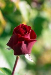 One rose by Nigel-Kell