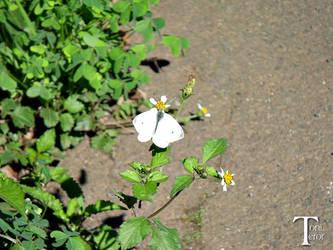 Mariposa blanca by ToniTeror