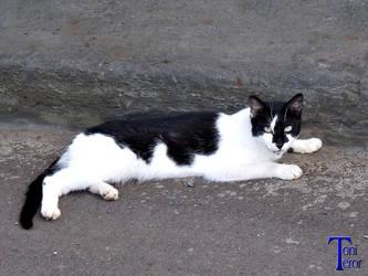 Gato negro y blanco 1 by ToniTeror
